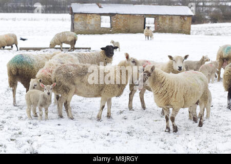 Sheep and new born Lambs in a snowy field - Stock Photo