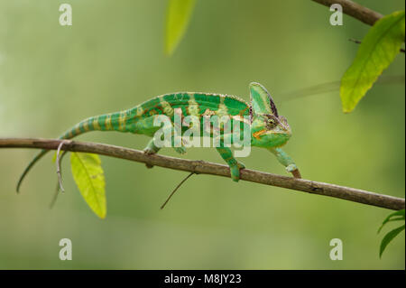 Colorful chameleon walking on tree branch with green background. Yemen chameleon lizard. - Stock Photo