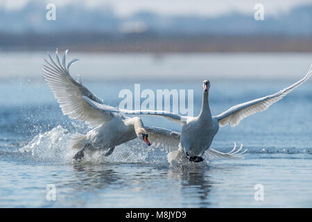 Two male swans, Cygnus olor, during a fight for supremacy in mating season on the River - Stock Photo