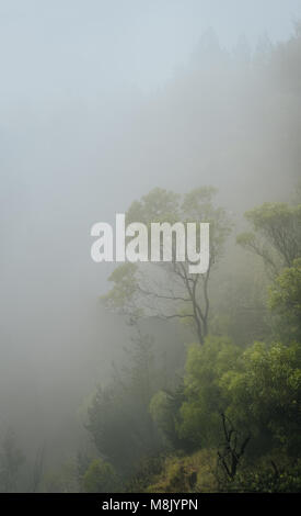 Forested mountain slope in low lying fog with the evergreen conifers and eucalyptus shrouded in mist