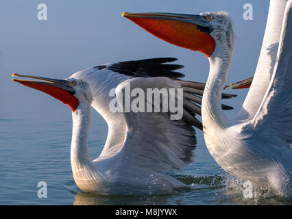 Dalmatian pelican, white big bird - Stock Photo