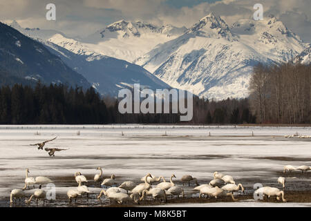A group of swans feed in a farmers field and two Canadian Geese are flying in with Mt Meager in the background. - Stock Photo
