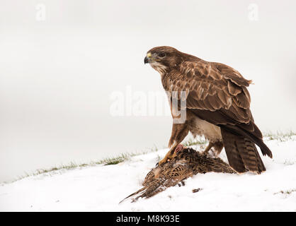 A wild Common Buzzard (Buteo buteo) feeding on pheasant carrion in the snow, Wiltshire - Stock Photo
