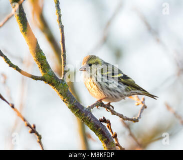 Female black-headed goldfinch (Carduelis spinus) sitting on the branch of a tree - Stock Photo
