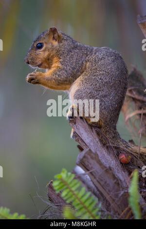 Eastern Fox Squirrel (Sciurus niger), Balboa Park, San Diego, California, USA - Stock Photo
