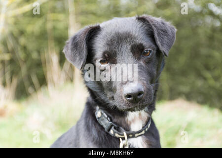 a black terrier type dog looking at camera - Stock Photo