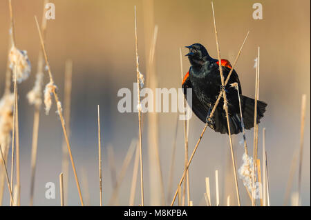 Male red-winged blackbird (Agelaius phoeniceus) l calling MN, USA, April, by Dominique Braud/Dembinsky Photo Assoc - Stock Photo