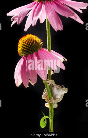 Gray Tree Frog (Hyla versicolor) on flowering cone flower (Echinacea purpurea), MN, USA by Dominique Braud/Dembinsky - Stock Photo