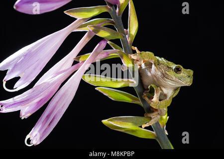 Gray Tree Frog (Hyla versicolor) on Flowering Hosta, MN, USA, by Dominique Braud/Dembinsky Photo Assoc - Stock Photo