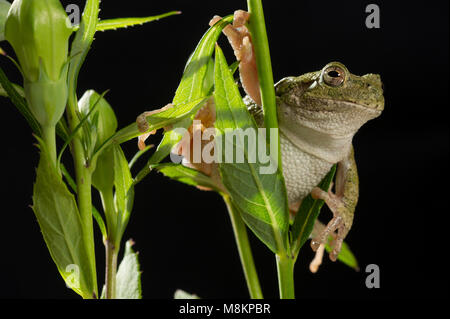 Gray Tree Frog (Hyla versicolor) on Balloon Flower (Platycodon grandiflorus), MN, USA, by Dominique Braud/Dembinsky - Stock Photo