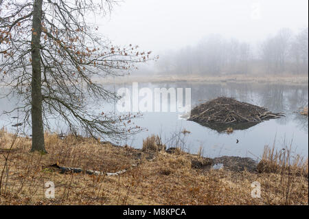 Beaver lodge in fog. William O'Brien State Park, MN, USA, early Spring, by Dominique Braud/Dembinsky Photo Assoc - Stock Photo