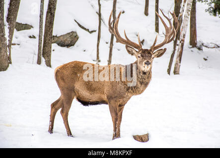 Male Deer  in the Winter Woodland Covered of Snow Stirring at You - Stock Photo