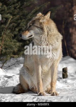 Eurasian wolf (Canis lupus lupus) sits on snow in cold winter - Stock Photo