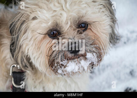 Kidderminster, UK, 18th March, 2018. Cockapoo 'Freddie' enjoys the snow in Kidderminster, UK. Credit: Edward J Dyer/Alamy - Stock Photo