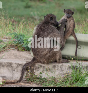 Baby Chacma baboon, Papio ursinus, on a rash barrier being groomed by its mother; Kruger NP, South Africa - Stock Photo
