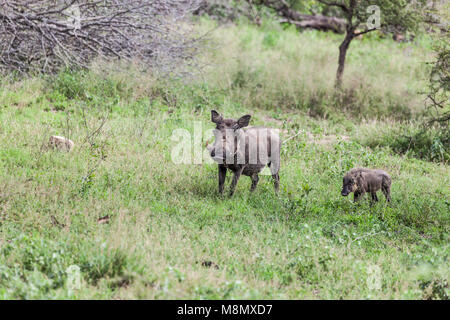Warthog, Phacochoerus africanus, and piglet in Kruger NP, South Africa - Stock Photo