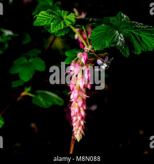 Flower of Chaparral Currant, Ribes malvaceum, on dark background - Stock Photo
