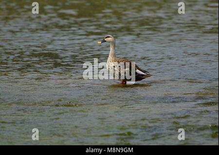 Indian Spot-billed Duck near Sangli, Maharashtra, India - Stock Photo