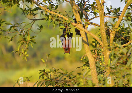 Indian Flying Fox, Pteropus giganteus hanging upside down from a tree near Sangli, Maharashtra, India - Stock Photo
