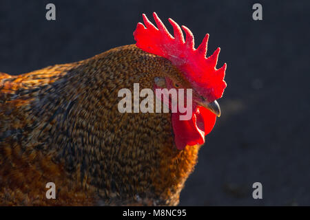 Rooster on a black background. - Stock Photo