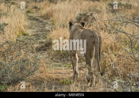 Lioness walking on savannah view from behind. Namibia. Africa. - Stock Photo