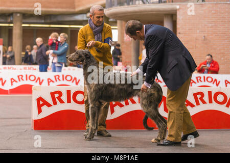22th INTERNATIONAL DOG SHOW GIRONA March 17, 2018,Spain, Scottish deerhound - Stock Photo