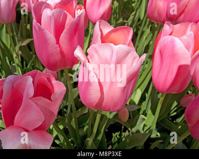 Pink prospering tulips (Tulipa sp.) at the park next to Casino Monte-Carlo, Place du Casino, Monte Carlo, Principality - Stock Photo