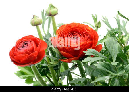Persian buttercup (Ranunculus asiaticus) on white isolated background - Stock Photo