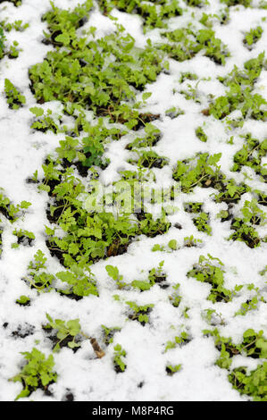 Mustard winter green manure cover crop plants growing with snow cover, Sinapis Alba, Brassica Alba or Brassica Hirta. - Stock Photo