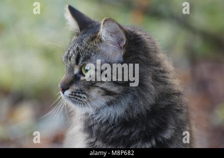 Portrait of Young fluffy gray domestic cat in a sunny forest. Adopted pet. - Stock Photo