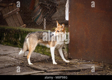 A stray dog walking along the street in the village. Homeless dog outdor. - Stock Photo