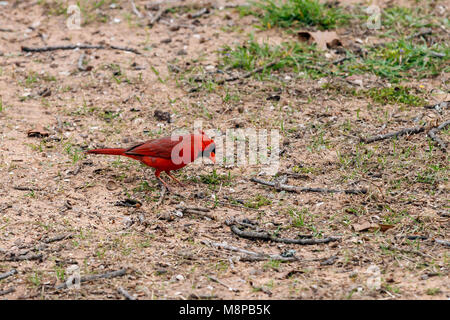 cardinal looking for seed on the ground. - Stock Photo