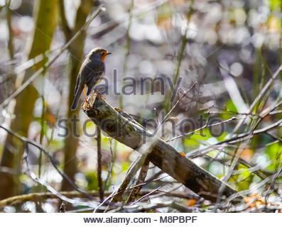European robin  (Erithacus rubecula) perching on branch. - Stock Photo