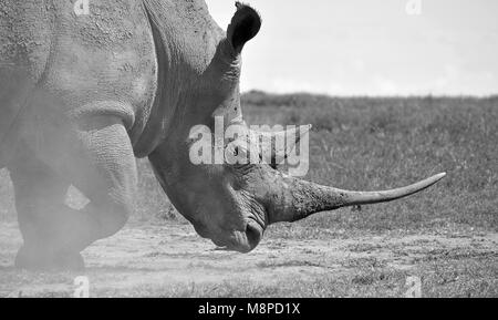 Rhino kicking up dust - Stock Photo