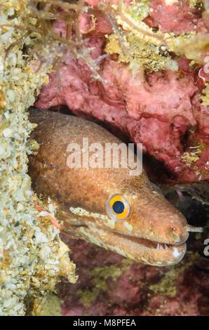 Barred-fin moray, Gymnothorax zonipectis, Anilao, Batangas, Philippines, Pacific - Stock Photo