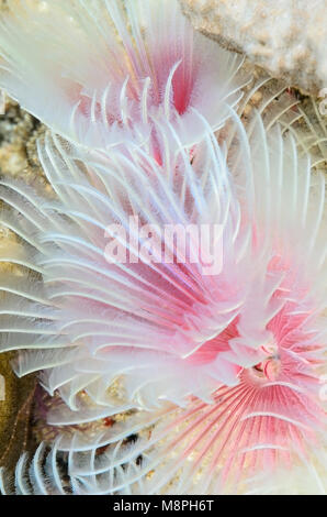 Magnificent Tube Worm, Protula bispiralis, Anilao, Batangas, Philippines, Pacific - Stock Photo