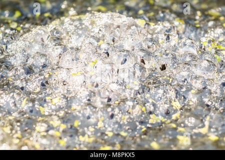 Stirlingshire, Scotland, UK - 19 March 2018: UK weather - frogspawn thawing in Stirlingshire garden wildlife pond. - Stock Photo