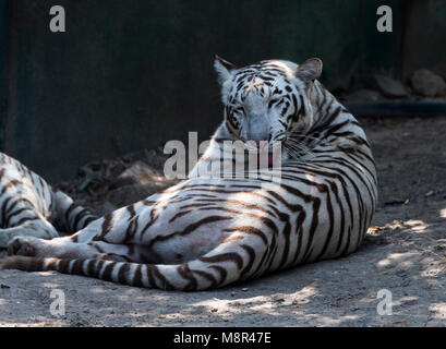 White Tiger or bleached tiger pampering, licking and cleaning his body fur in Rajkot, India - Stock Photo