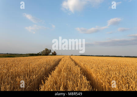 Golden wheat flied before harvesting at sunset - Stock Photo