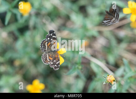 Female Texan Crescent (with blurry male flying around her - Stock Photo