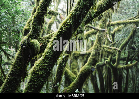 Close-up of mossy branches of trees in forest at Garajonay National Park