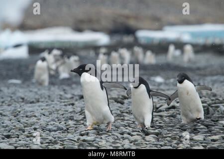 Groups of Adelie penguins walk along the shoreline at Brown Bluff, Antarctica. - Stock Photo