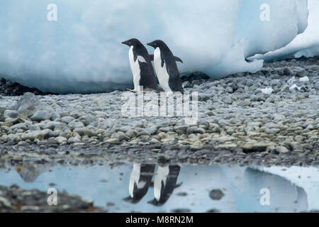 Two Adelie penguins walks along the shoreline casting a reflection in the water at Brown Bluff, Antarctica. - Stock Photo
