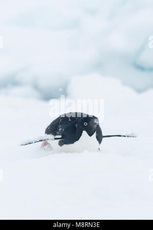 Snow falls on top of an Adelie penguin as it slides along the top of an iceberg on its belly, also known as tobogganing. - Stock Photo