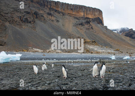 A group of Adelie penguins walk along the rocky shoreline at Brown Bluff, Antarctica. - Stock Photo