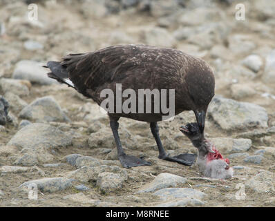 A Brown skua kills and eats an Adelie penguin chick in Antarctica. - Stock Photo