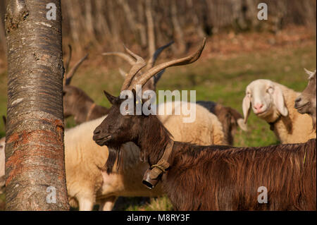 goats in the mountain pasture - Stock Photo