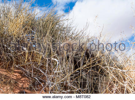A North American porcupine uses its camouflage to hide in tall grass. - Stock Photo