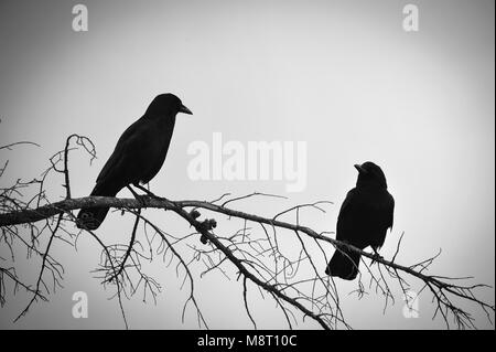 Black and white portrait of two  birds perched on a branch of a tree, silhouetted against a grey sky background - Stock Photo