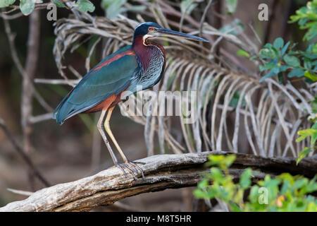 Agamireiger, Agami Heron, Agamia agami - Stock Photo